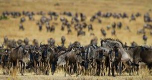 Wildebeests stoi w sawannie wielka migracja Kenja Tanzania Masai Mara park narodowy Obrazy Royalty Free
