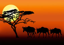 Wildebeests in sunset. Three wildebeest walking silhouette in sunset Stock Photography