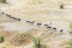 Wildebeests, Tarangire National Park, Tanzania Stock Photos