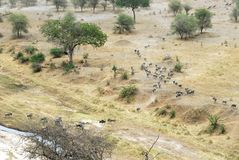 Wildebeests, Tarangire National Park, Tanzania Royalty Free Stock Photo