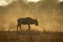 Wildebeests, Tarangire National Park, Tanzania Royalty Free Stock Photos