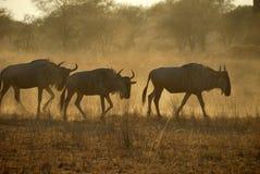 Wildebeests, Tarangire National Park, Tanzania Royalty Free Stock Image