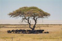 Wildebeests under acacia tree in etosha national park Namibia stock photos