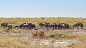 Wildebeests w Botswana Zdjęcia Royalty Free
