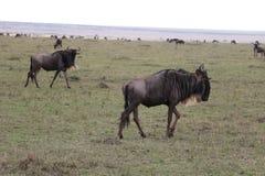 Wildebeests w dzikim maasai Mara obraz stock