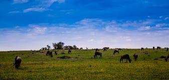 Wildebeests w Masai Mara zdjęcia royalty free