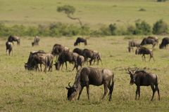 Wildebeests w sawannie Obrazy Stock