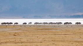 Wildebeests walking in line in Ngorongor Crater, Tanzania, Africa, lots of wildebeests stock photography