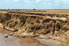 Wildebeests werden in einer großen Herde montiert Stockbilder