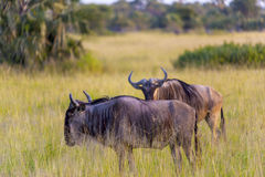 Wildebeests In The Wild Stock Photo