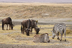 Wildebeests and zebra Royalty Free Stock Photography