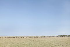 Wildebeests and Zebras in the grassland of Masai Mara National Park, Kenya Stock Photography