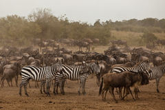 wildebeestsebra Royaltyfri Foto