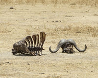 Wildebeestskelet met hoornen en ribcage Royalty-vrije Stock Afbeeldingen
