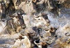 Wildebeeststormloop terwijl het kruising van Mara rivier in Masai Mara Stock Afbeeldingen