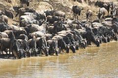 Wildebeestsystemumstellung in Kenia Stockfotografie