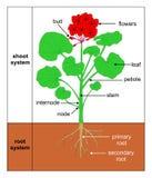 Wildemalva (zonale do Pelargonium) ilustração royalty free