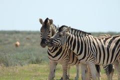Wilden Zebras vertraulich stockfotografie
