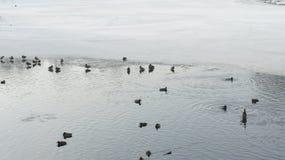 Wildente, die auf gefrorenes Wasser im Winter geht Stockbild