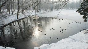 Wildente, die auf gefrorenes Wasser im Winter geht Lizenzfreies Stockbild