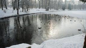 Wildente, die auf gefrorenes Wasser im Winter geht Lizenzfreie Stockbilder
