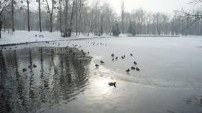Wildente, die auf gefrorenes Wasser im Winter geht Lizenzfreies Stockfoto