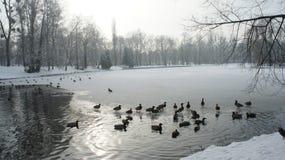 Wildente, die auf gefrorenes Wasser im Winter geht Stockfoto