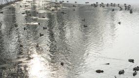 Wildente, die auf gefrorenes Wasser im Winter geht Stockbilder