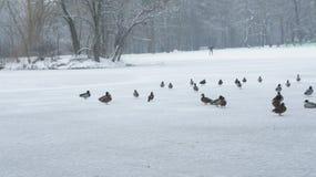 Wildente, die auf gefrorenes Wasser im Winter geht Stockfotografie