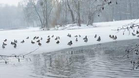 Wildente, die auf gefrorenes Wasser im Winter geht Stockfotos