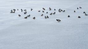 Wildente, die auf gefrorenes Wasser im Winter geht Lizenzfreie Stockfotos