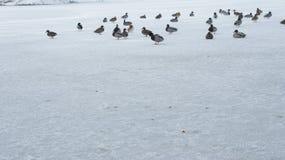 Wildente, die auf gefrorenes Wasser im Winter geht Lizenzfreie Stockfotografie