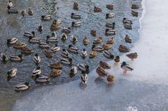 Wildente im Winter im Wasser und auf dem Eis Lizenzfreies Stockfoto