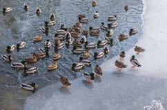 Wildente im Winter im Wasser und auf dem Eis Stockbild