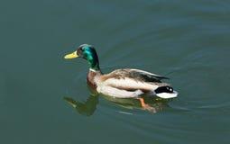 Wildente schwimmt auf den Fluss (Anekdoten platyrhynchos) Stockfotos