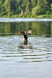 Wildente-Stockente verbreitete seine Flügel über dem Wasser des Sees lizenzfreie stockfotos