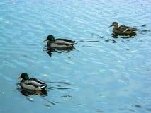 Wildenten auf dem Fluss Lizenzfreie Stockfotos