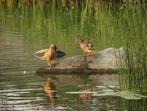 Wildenten auf dem See Lizenzfreie Stockbilder