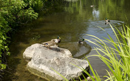 Wildenten auf dem See Lizenzfreie Stockfotografie