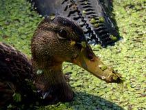 Wildenten auf einem Teich Lizenzfreie Stockfotografie