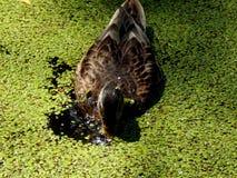 Wildenten auf einem Teich Stockbild