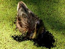 Wildenten auf einem Teich Stockfotos