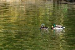 Wildenten auf Wasser lizenzfreies stockfoto
