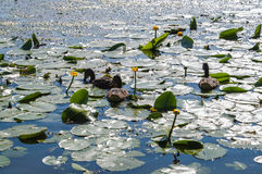 Wildenten auf Wasser Lizenzfreie Stockfotos