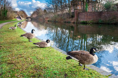 Wildenten an Birmingham-Kanal Lizenzfreie Stockfotografie