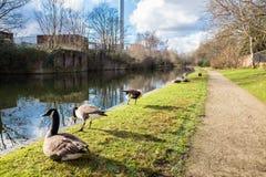 Wildenten an Birmingham-Kanal Stockfoto