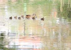 Wildenten in der Zeit des Parks im Frühjahr Stockente in der Natur im See Cover-Foto mit Enten Entenschwimmen mit ihrem Baby duc Stockfoto