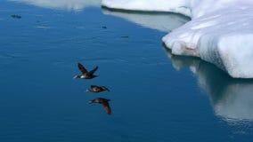 Wildenten, die in Bildung fliegen Stockfoto