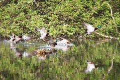 Wildenten, die in den Park fliegen Stockente in der Natur im See Cover-Foto mit Enten Konzipierter Hintergrund Faunamuster vögel Lizenzfreie Stockfotografie