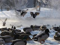 Wildenten, die in den Winter fliegen Lizenzfreies Stockfoto